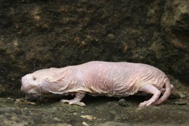 Mole Rat An Overview Sciencedirect Topics
