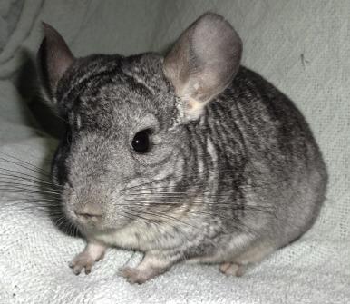 red spots on chinchillas ears