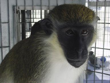 Torpid Snow Primates Found In Midwest >> Nonhuman Primates Sciencedirect