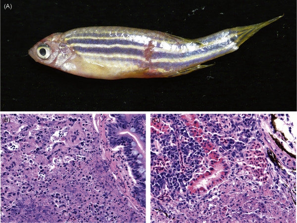 The Biology and Management of the Zebrafish - ScienceDirect