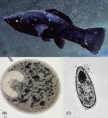 ichthyophthirius parazita