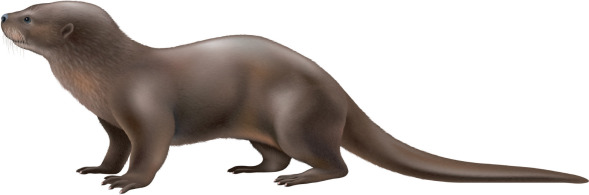 Image of: Marine Otterlontra Felina molina 1782 Mustelidae An Overview Sciencedirect Topics