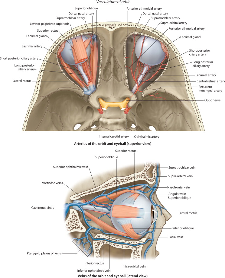 Anatomy of the Optic Nerve and Visual Pathway - ScienceDirect