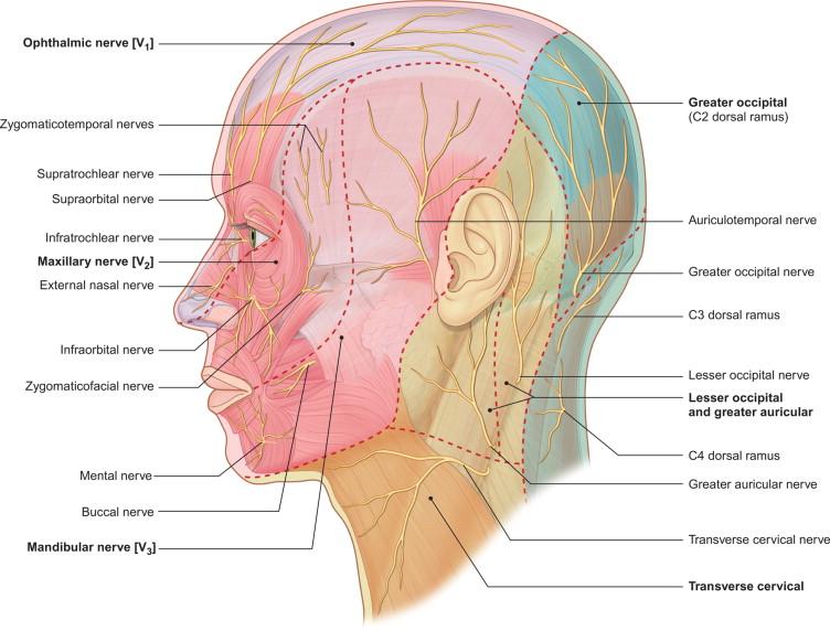 Anatomy Of The Trigeminal Nerve Sciencedirect