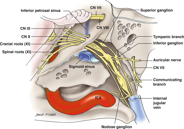 Anatomy Of The Glossopharyngeal Nerve Sciencedirect
