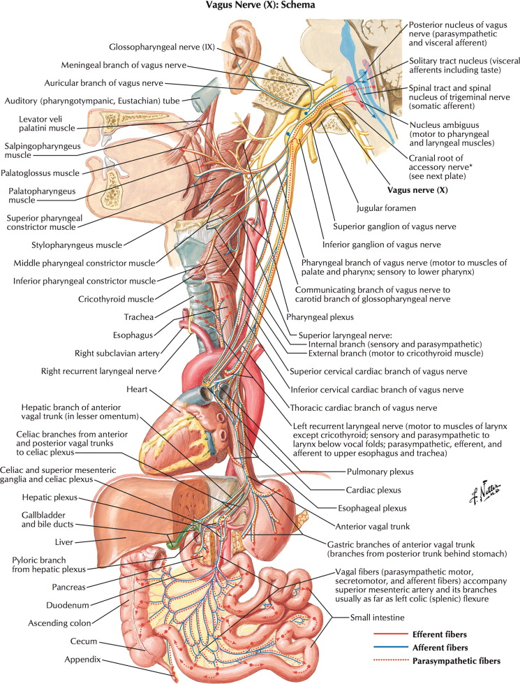 Anatomy of the Vagus Nerve - ScienceDirect