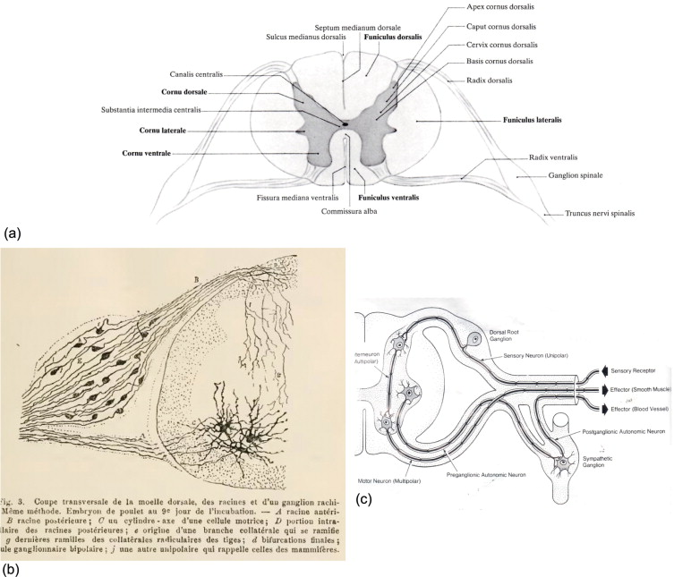 The Dorsal Rootlets Ventral Rootlets Spinal Nerve And Rami