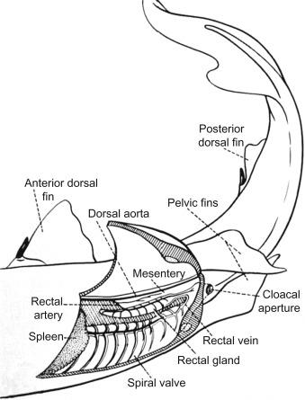 Elasmobranch