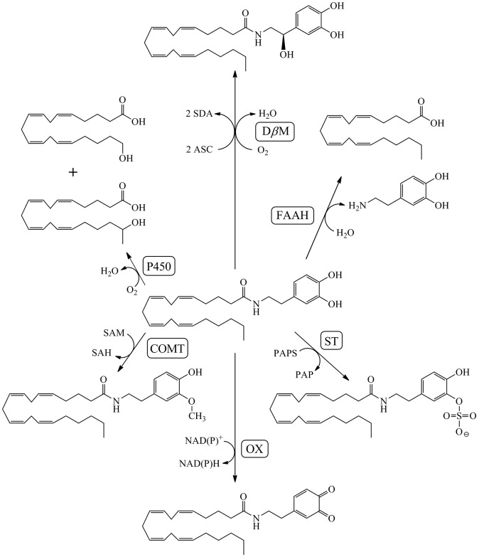 Mammalian Fatty Acid Amides Of The Brain And Cns
