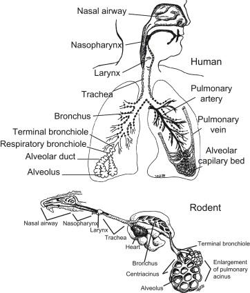 Respiratory System Sciencedirect