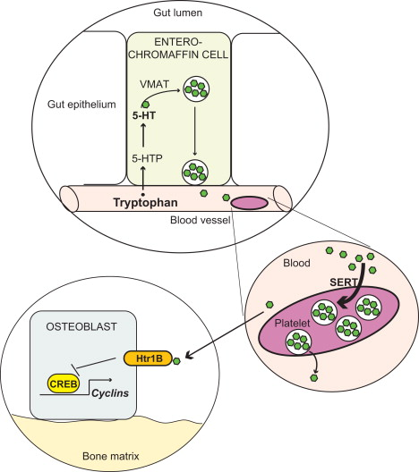 5 Hydroxytryptophan - an overview | ScienceDirect Topics