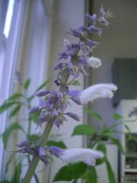 Salvia Divinorum - an overview   ScienceDirect Topics