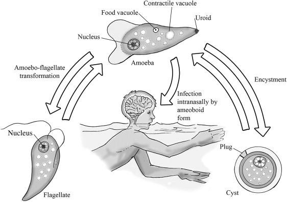 Naegleria fowleri - an overview | ScienceDirect Topics