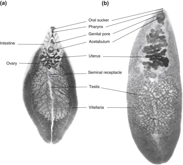 fascioliasis trematode Toxinok testének tisztítására szolgáló készítmények