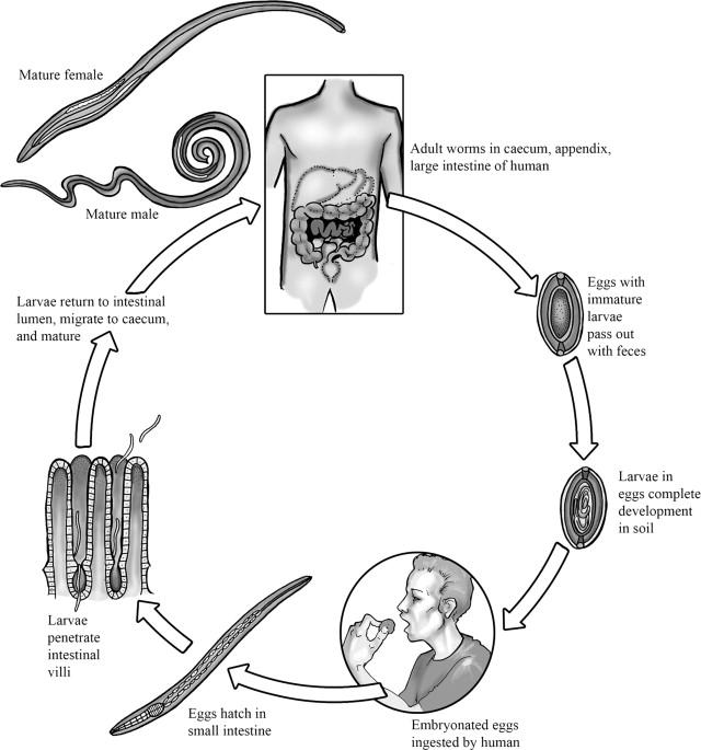 Trichocephalosis anaemia, Kiadási forma és összetétel
