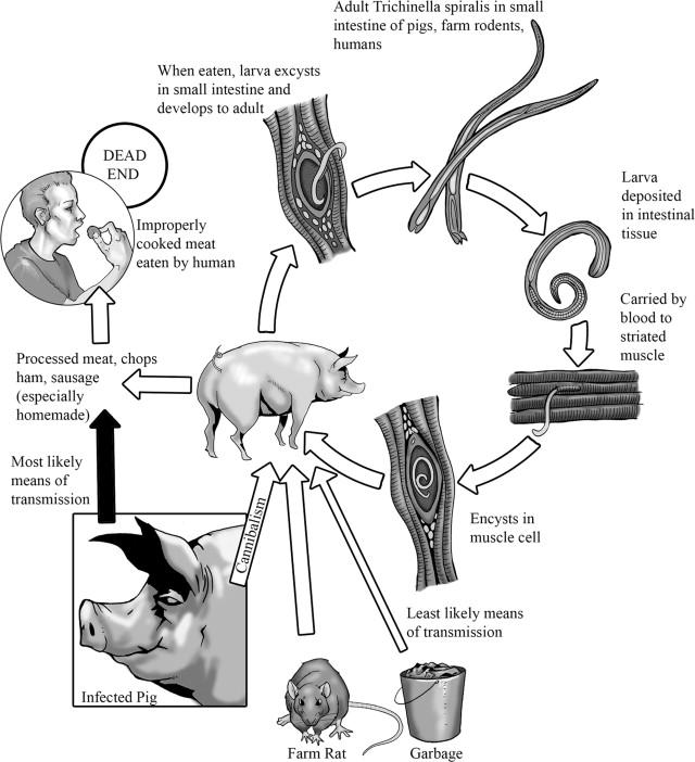 "Trichinella ascaris - Paraziták, a veszélyes ""potyautasok"""