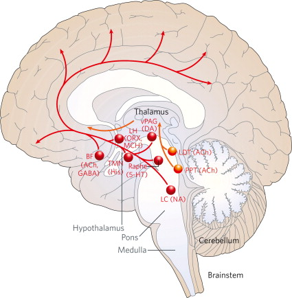 Reticular Activating System - an overview   ScienceDirect Topics