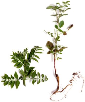 Glycyrrhiza Glabra Flower