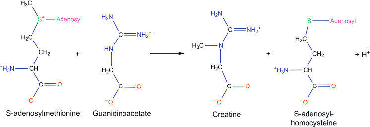 creatine phosphate serves to do what