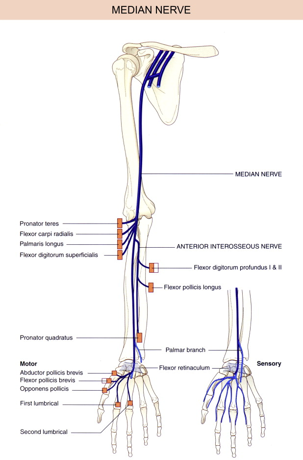 Median Nerve An Overview Sciencedirect Topics