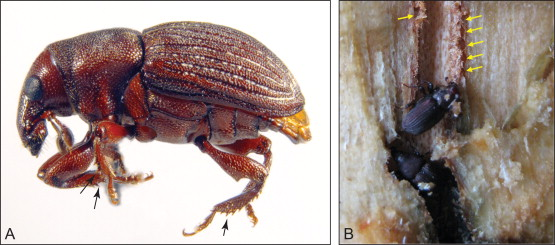 Evolution and Diversity of Bark and Ambrosia Beetles - ScienceDirect