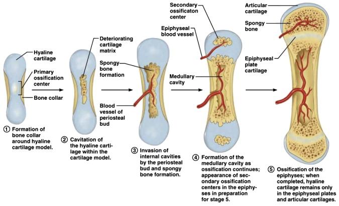 Cartilage And Bone Regeneration Sciencedirect