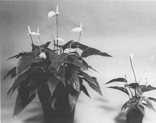 Anthurium An Overview Sciencedirect Topics