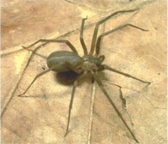 Recluse Spider An Overview Sciencedirect Topics