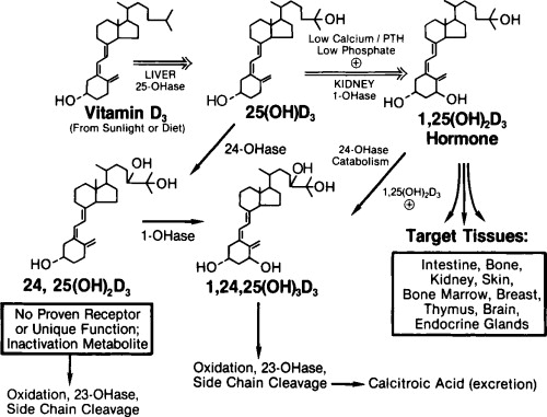 Molecular Biology Of The Vitamin D Hormone