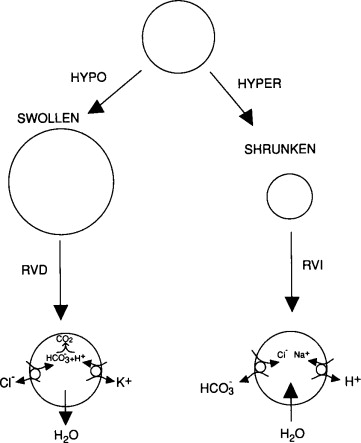 Intracellular Ph Regulation