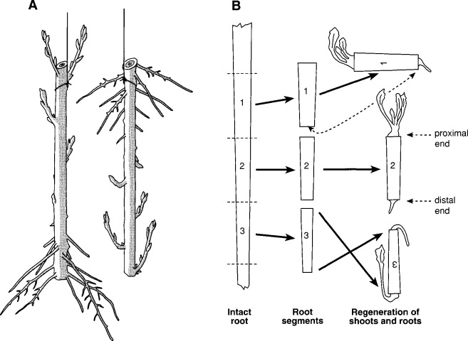 Adventitious Root - an overview | ScienceDirect TopicsScienceDirect.com