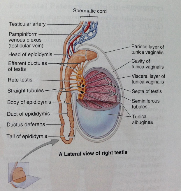 Testicular Vein An Overview Sciencedirect Topics