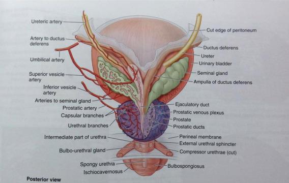 Bulbourethral glands sperm count