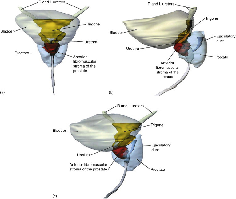 The Surgical Anatomy of the Prostate - ScienceDirect