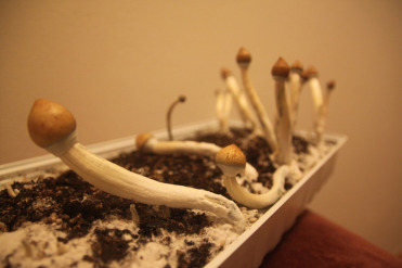 Neurobiology of the Effects of Psilocybin in Relation to Its