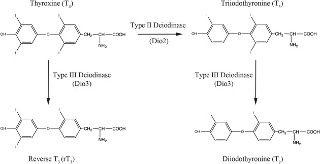 Deiodinase An Overview Sciencedirect Topics