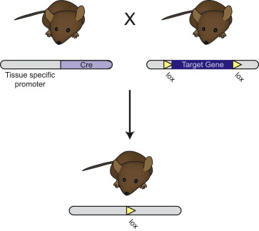 Cre-Lox Recombination - an overview | ScienceDirect Topics