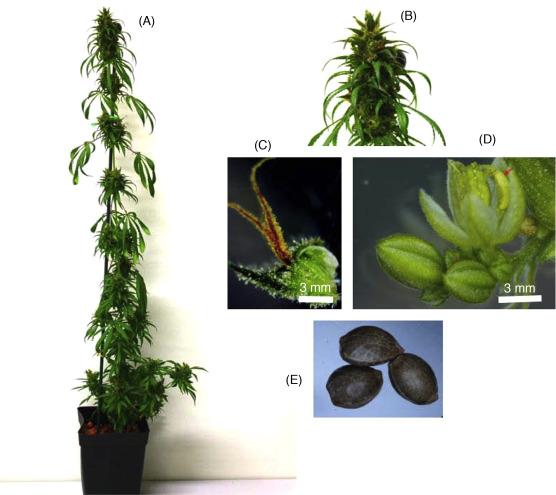 The Cannabis Plant: Botanical Aspects - ScienceDirect