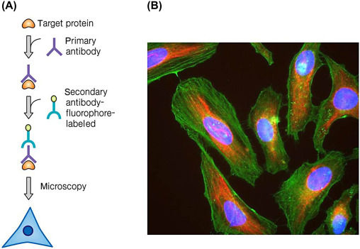 Immunofluorescence Test - an overview | ScienceDirect Topics