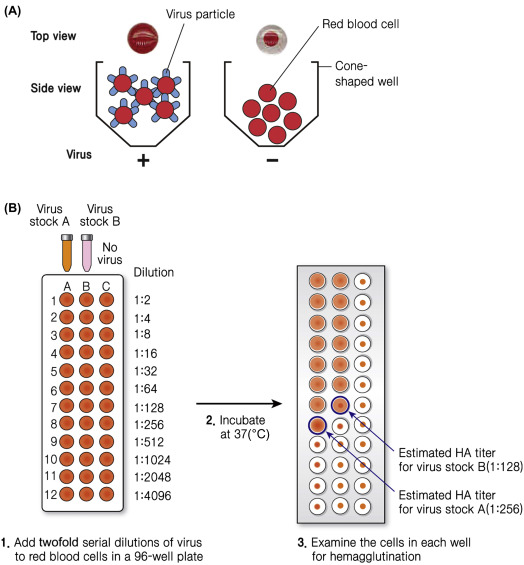 Red Cell Agglutination - an overview | ScienceDirect Topics