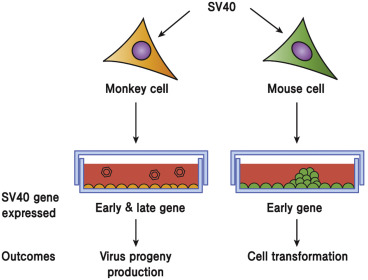 SV40 - an overview | ScienceDirect Topics