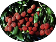 Lychee - an overview | ScienceDirect Topics
