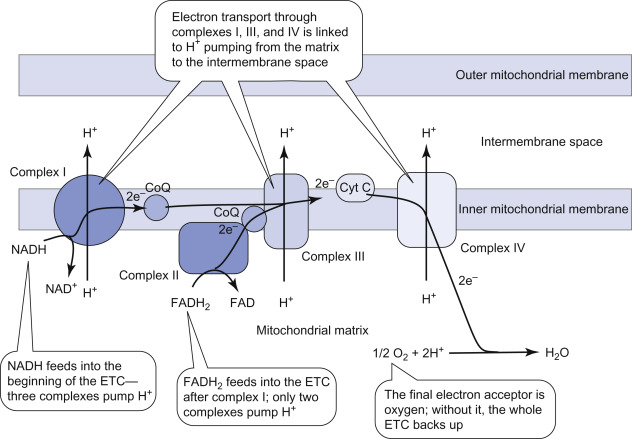 Electron Transport Chain An Overview Sciencedirect Topics