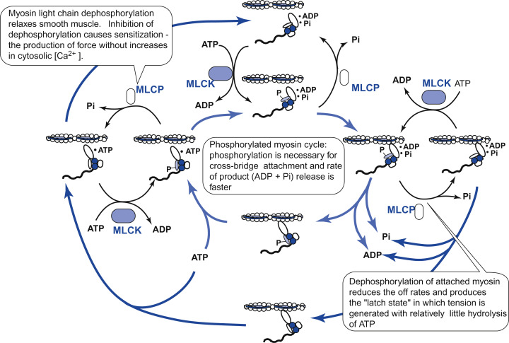 Myosin Light Chain Phosphatase - an overview | ScienceDirect Topics