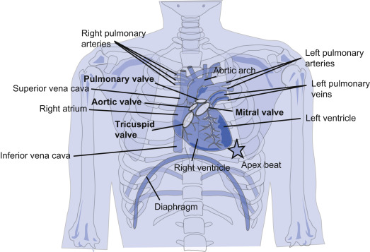 Apex Of The Heart An Overview Sciencedirect Topics
