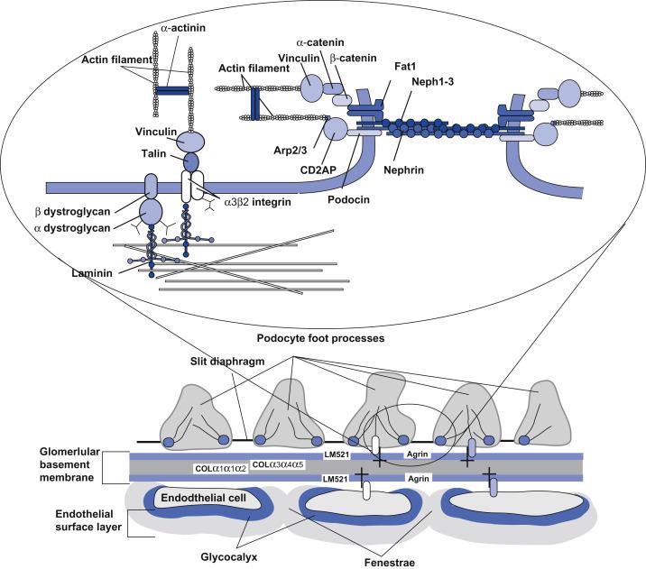 membrana basal glomerular diabetes mellitus