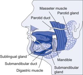 Salivary Serous Gland - an overview   ScienceDirect Topics