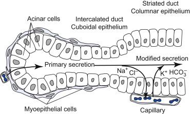 Intercalated Duct - an overview | ScienceDirect Topics
