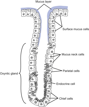 gastric pits - an overview | sciencedirect topics  sciencedirect.com