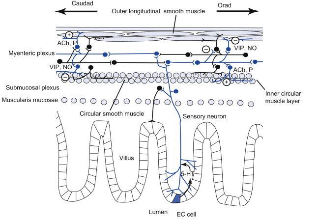 Peristalsis - an overview | ScienceDirect Topics